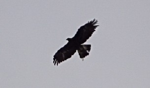 Eagle soaring